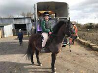 Super second pony or lead rein Dartmoor 12h