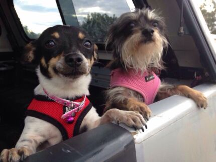 Rum and Sharni are looking for a forever home (together)  Taree Greater Taree Area Preview