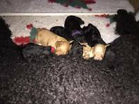 Stunning Pedigree KC Registered Standard Poodle Puppies Ready Now