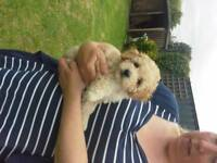 Toy Poodle Puppies 8 weeks Old Ready to Go