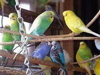 budgies regular and exhibition many colour birds