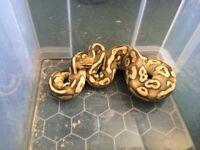 For Sale collection of various snakes for sale