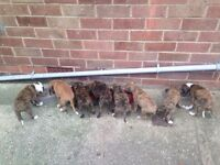 Lovely pups for sale