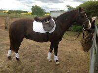 Welsh B Gelding Pony