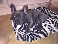 French Bulldog 🐶