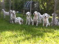 Dalmatian Puppies for sale - Boys and Girls