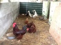 Rhode Island Red Hens and Cockerel