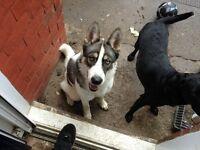 husky cross akita and black labrador