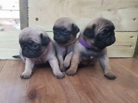 Gorgeous Pug Puppies Fully KC Registered - **READY ON 24th July**