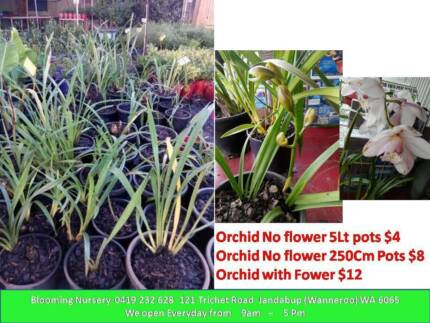 Orchids $4, Asparagus Crowns $8 Jandabup Wanneroo Area Preview