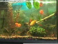 98 Litre Aquael Tank, Cabinet inc. all ornaments, fish and accessories