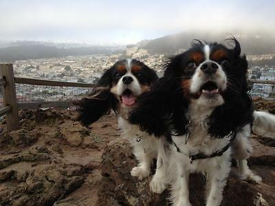 Tri Cavalier King Charles Spaniel - One On the Mountain Tri Cavalier King Charles Spaniel Blank Post Card