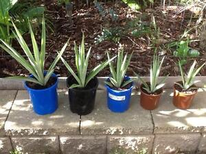 Yucca plant large in victoria gumtree australia free local classifieds yucca plants small cuttings growing in pots workwithnaturefo
