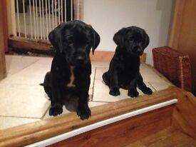 4 adorable black Labrador puppies for sale