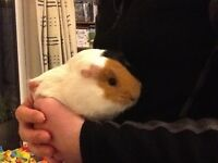2 Guinea pigs for sale including the cage, indoor run and outdoor run