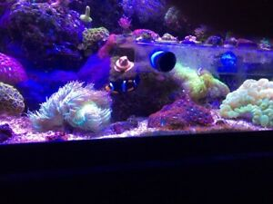 Mated pair of clowns