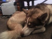 Husky Male 14 Months *Forever 5* Home Only!*