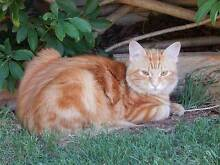 LOST  CAT (Ginger Tabby) Gulfview Heights Salisbury Area Preview