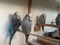 Budgerigars For Sale