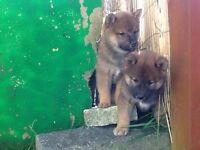 Shiba inu pups