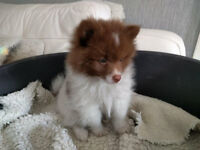 GERMAN SPITZ KLEIN PUPPY FOR SALE