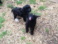 cockapoo puppies f1