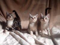 British Shorthair X Exotic Persian kittens