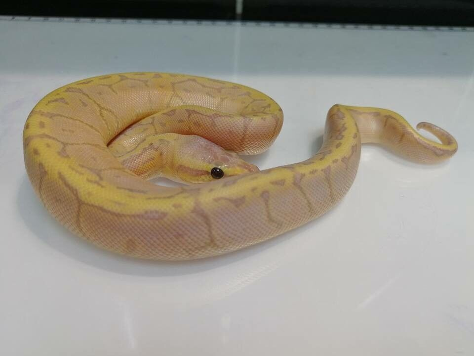 2017 male Banana lemonblast 100% het albino £350