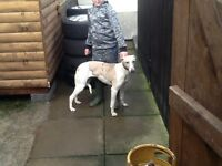 1 year old whippet bitch very fast £80