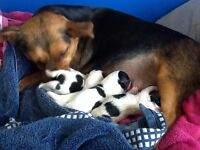 5 JACK RUSSELL PUPPIES