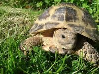 Horsfield Tortoise Appx 3 yrs old available for Rehoming in Boston