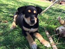 Kelpie X Border Collie pups Toowoomba 4350 Toowoomba City Preview