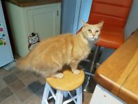 Lost Zou Zou - ginger loving Maine coon