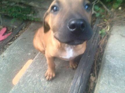 ADOPT ME - Winston, little puppy looking for his forever home! Beenleigh Logan Area Preview