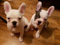 Blue French Bulldogs Puppies White with Blue Gene