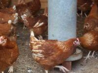 pol waren chickens