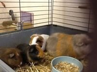 Baby Guinea Pigs for sale.