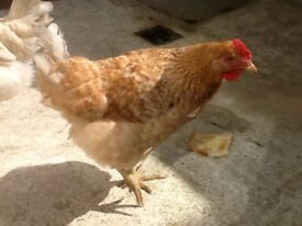 two lovely hens available speckled and one black irridescent feathers