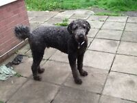 Labradoodle looking for a home