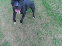 Staffordshire bull terrier needs rehome. Tyson