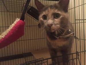 AC0486 : Confetti - CAT for ADOPTION - Vet Work Included Innaloo Stirling Area Preview