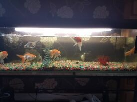 fancy gold fish and 2 weather loachs with 4ft tank