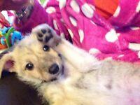 Bedlington Terrier x Lurcher Male Puppy