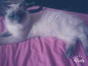 Pure breed Lynx point Siamese (Male)
