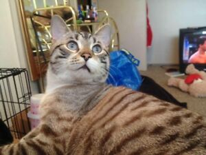 LOST CAT IN THORNCLIFFE