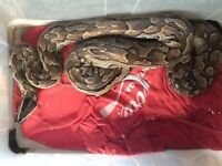 Female African rock Python