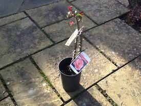 Rose bushes for sale in pots and labelled-hybrid teas