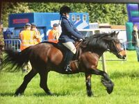 FOR SALE PERFECT CONFIDENCE GIVER, FABULOUS PONY FOR SALE!!
