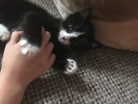 Gorgeous black and white kitten 9 weeks old. Last of the litter. Wormed and flead