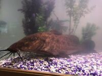 Giraffe Catfish 13-14 inches call or text 07469870858 £150 ono